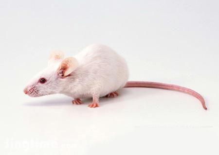 老鼠动物单个图片
