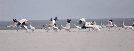 鄱阳湖观候鸟:上千只白鹤的空中写真