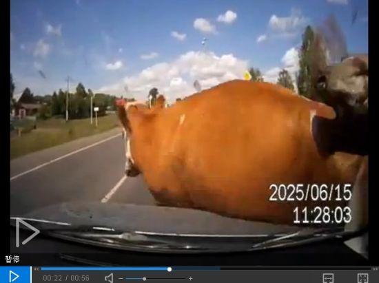 牛过马路交配被撞