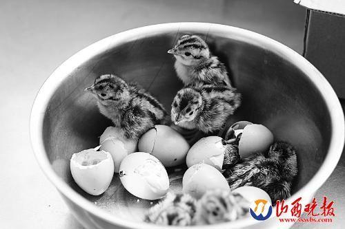 一个小盆成了这几只小鸡临时的家。