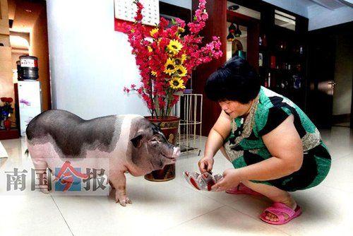 女子买宠物猪 半年后长成七八十公斤肥猪(图)