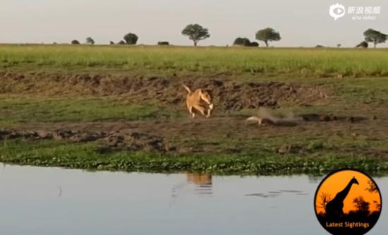 实拍母狮捕杀鳄鱼