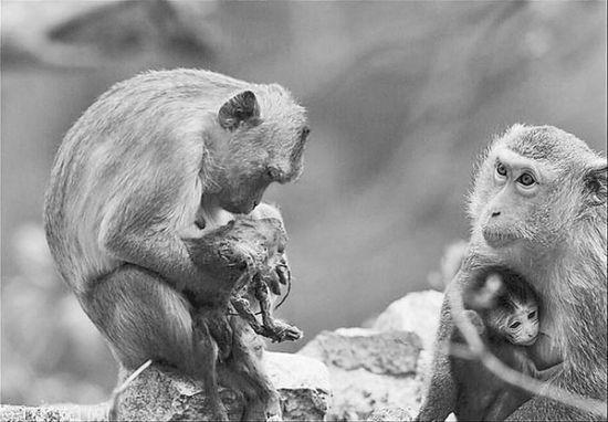 刚出生的小猴被猴王掐死,但妈妈不离不弃,每天抱着它不肯放手,让人看了非常心酸。园方供图
