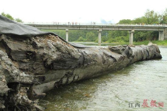 ▲修水县两天一夜挖出长24米、重50多吨的乌木。