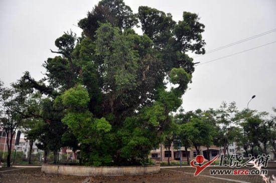万年一千年古树长出奇异果