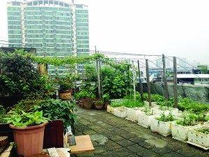楼顶菜园满是果蔬