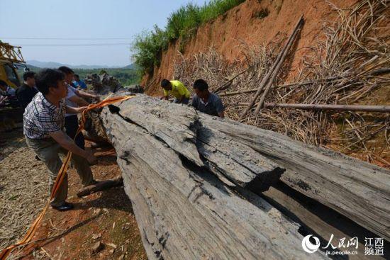 江西浮梁县首次发现乌木,目前已被移送至古县衙景区内进行保护处理。