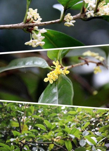 桂花不开花时,只是满树茂密的叶子,开花季节也得仔细地从绿叶丛里找细