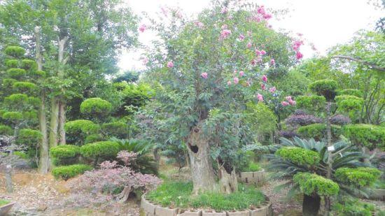 本报讯记者谢炳华摄影报道:同一棵树上既开紫薇又开月季,见过吗?直径1米的罗汉松自然生长需要500年,而通过某项技术后510年最晚20年就能长成,这可能吗?答案是肯定的。11月5日,记者在吉水县城北105国道1908公桩一家名为吉美的植物园内就看到了这一奇观。据了解,这种难得一见的景观是通过立体网状速成组合大树技术形成的,今年5月28日该项技术获得了国家专利,有效填补了国内外用小树培育立体网状速成人造大树的空白,开辟了人造大树的新途径。   奇异林,奇在何处?   一棵树同时开两种不一样的花