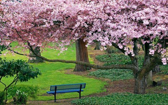 一、樱花 1.凤凰沟 600多亩的花海,种植有台湾樱花、日本早樱、日本晚樱、冬樱花、红叶樱花、云南樱花、垂枝樱花等十多个品种,共计两万余株。花开之时遮天蔽日、灿若云霞,浪漫的樱花花瓣随风飞舞,可谓是花谢花飞飞满天的别样好景,如梦似幻。 最佳花期:3月中旬-4月中旬 2.