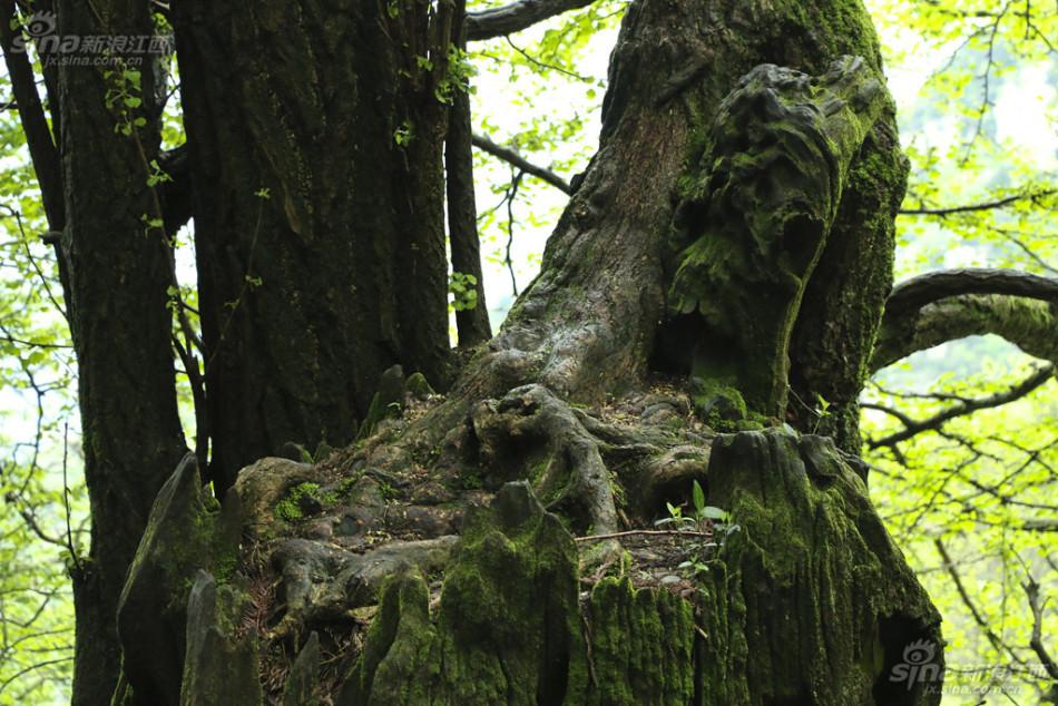 庐山张果老形古树