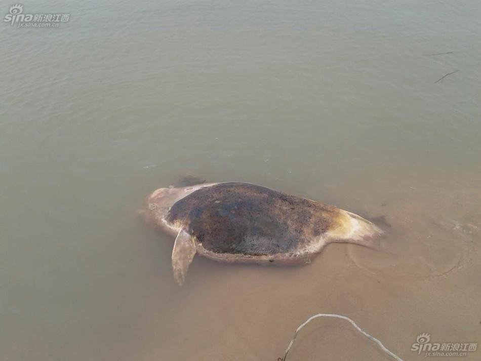 鄱阳湖江豚死亡