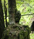 庐山发现银杏古树