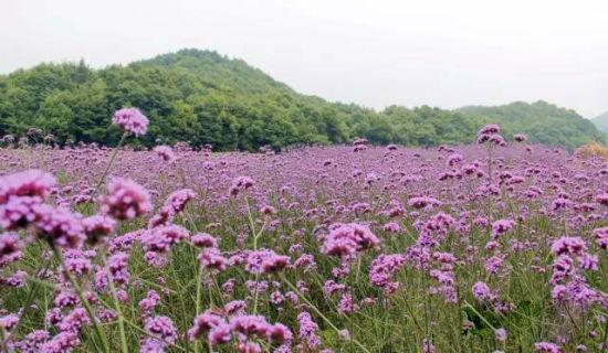 """玉山""""普罗旺斯""""紫色花海 与夏天来一场邂逅"""