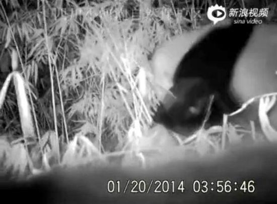实拍两熊猫竹林中 掐架互搏